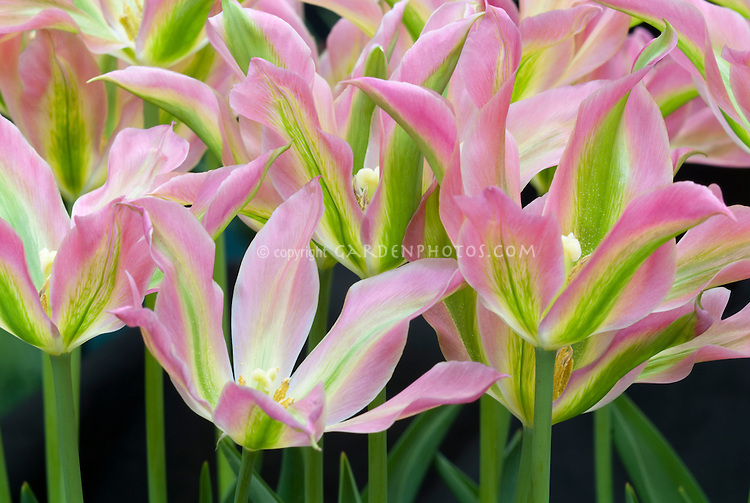 Pink, green, yellow striped tulip Virichic viridiflora tulips flowers