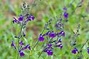 Salvia lycioides x greggii, mid June.
