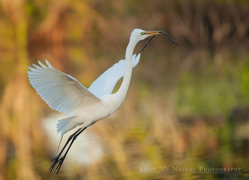 Great Egret with stick to present to partner at nest