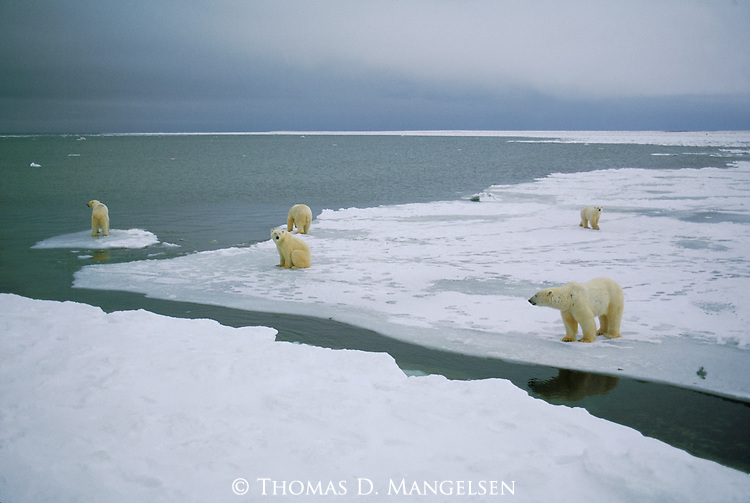 Polar Bears gathered at the edge of the ice in Churchill, Manitoba, Canada.
