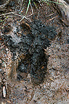 Moose hoof print in fresh mud.  This track was less than 12 hopurs old according to biologists.  There is considerable overlap in hoof size with females and males due to weight/size of animal so certainly a mature cow and a young bull could have size overlap.  The overall impression of the track we saw was that is was a larger track and most likely that of a bull, but nothing definitive to give 100% assurance.  Johnson Mountain Township, Maine.