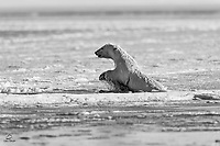 Young Polar Bear (Ursus maritimus) was feeding on the bone pile near Kaktovik, Alaska - when one too many boats showed up to observe.  The bear took off into the bay, jumping up to break the ice and make it's way out to open water.