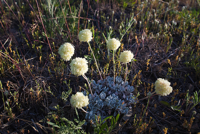 Flowers of the Cushion Buckwheat Plant on a hillside in Montana