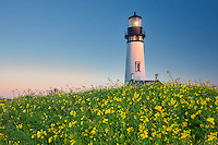 Yaquina Lighthouse with yellow mustard and fireweed. Yaquina Head, Oregon