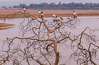 africa, Zambia, South Luangwa National Park,  African sacred ibis