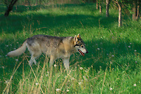 Solitary wolf, Canis Lupis, walking in summer evening shadows through the green grass of a meadow, Midwest USA