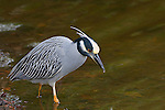 USA, FlL, Sanibel, Yellow-Crowned Night Heron (Nycticorax violaceus)