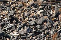 Black llicorella soil. Priorato, Catalonia, Spain