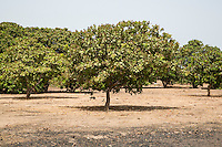 Cashew Nut Trees, near Sokone, Senegal. The  field is well-tended, with no brush or low-lying branches under the trees.