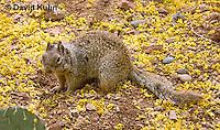 0613-1108  Rock Squirrel (Ground Squirrel), Pregnant Female, Spermophilus variegatus (Otospermophilus variegatus)  © David Kuhn/Dwight Kuhn Photography