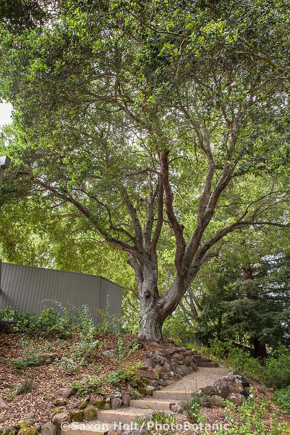 Quercus agrifolia, California live oak or coast live oak California native tree on hillside by path in Katherine Greenberg garden