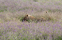 A female Lion, Panthera leo  melanochaita, eats a Thomson's Gazelle, Eudorcus thomsonii, in Ngorongoro Crater, Ngorongoro Conservation Area, Tanzania