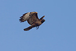 Red-tailed Hawk, Buteo jamaicensis, Hanford Reach National Monument, Wahluke Slope, Washington State, Pacific Northwest, USA, North America,