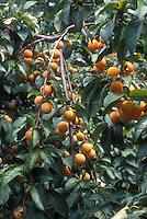 Apricots Prunus armeniacum growing on tree