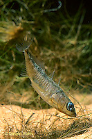 1S60-074z  Three Spined Stickleback - male fanning nest to aerate eggs - Gasterosteus aculeatus