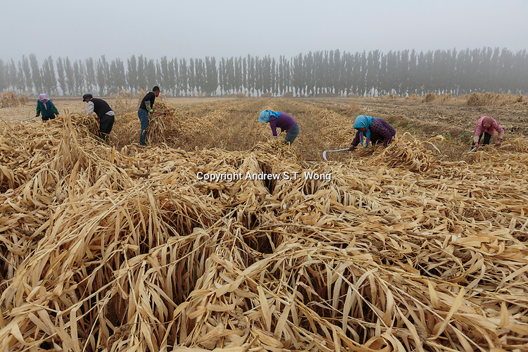 Local farmers, who are practising eco-agriculture, harvest millet in Alxa Left Banner, Inner Mongolia, China, October 2017.