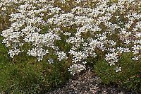 Moos-Steinbrech, Moos - Steinbrech, Saxifraga trifurcata, Heimat Nord-Spanien