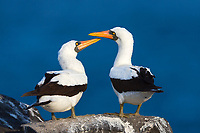 Pair of native Nazca boobies and their orange beaks, with blue Pacific Ocean background in the Galapagos Archipelago National Park, Ecuador