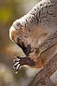 Red fronted brown lemur {Lemur fulvus rufus} grooming foot, Kirindy forest, West Madagascar.