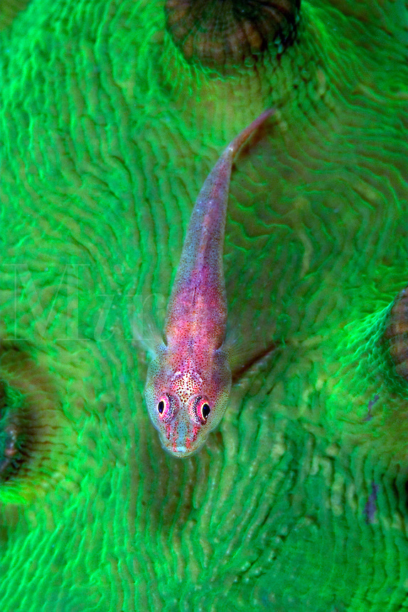 The big-eyed pygmy goby, Trimma macrophtalma, can be found on sponges, soft coral and gorgonians.  It is pictured here on the green flesh of a colony of Tubastraea micrantha. Sipidan Islnad, Malaysia.<br />