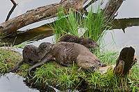 Northern River Otter (Lontra canadensis) mother--with young pups-- feeding on rainbow trout.  Western U.S., summer. .