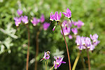Delicate purple shooting stars offer a burst of color in the spring garden.