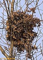 "0127-07xx  Gray squirrel ""Nest"" - Sciurus carolinensis ""Nest"" - © David Kuhn/Dwight Kuhn Photography"