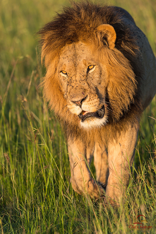 Vertical image of enormous male Lion (Panthera leo), Masai Mara