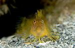 Seaweed Blenny yellow, Parablennius marmoreus, funny faced blenny, Underwater Marine life Behavior, Blue Heron Bridge, Lake Worth Inlet, Riviera, Florida, USA, Intra Coastal Waterway, North Atlantic Ocean.