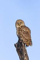 Barred Owl (Strix varia), winking