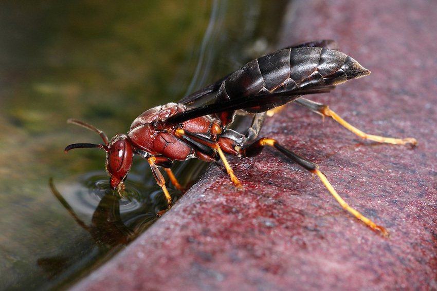 Polistes metricus at birdbath edge in Summer. To be published in the upcoming June/July issue of National Wildlife.