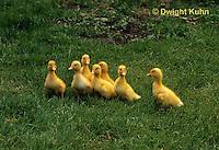 DG20-105z  Pekin Duck - four day old ducklings
