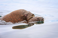 Pacific walrus, Odobenus rosmarus divergens, swimming in the water, adult with young, Wrangel Island, Far Eastern Federal District, Russia, Arctic Ocean