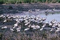 Weiss-Storch, Weissstorch, Weiß-Storch, Weißstorch, Storch, großer Trupp bei der Überwinterung in Afrika, Ciconia ciconia, white stork