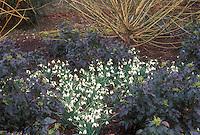 Galanthus Galatea, Mahonia Apollo, Salix, Anglesey Abbey