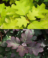 Hydrangea quercifolia 'Little Honey' yellow foliage oakleaf hydrangea shrub and Hydrangea quercifolia in autumn leaves, composite picture
