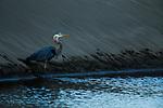 Great Blue Heron (Ardea herodias) drinking, Point Reyes National Seashore, California