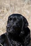 Black labrador retriever (AKC) sitting