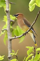 The Cedar Waxwing is a silky, shiny collection of brown, gray, and lemon-yellow, accented with a subdued crest, rakish black mask, and brilliant-red wax droplets on the wing feathers.