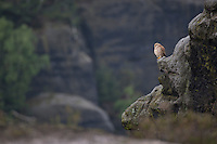 Turmfalke, auf Fels, Felsen in seinem Lebensraum, Turm-Falke, Falke, Falken, Falco tinnunculus, falcon, falcons, European Kestrel, Eurasian Kestrel, Old World Kestrel, Common Kestrel