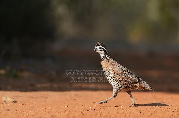 Northern Bobwhite (Colinus virginianus), male running, Rio Grande Valley, South Texas, Texas, USA