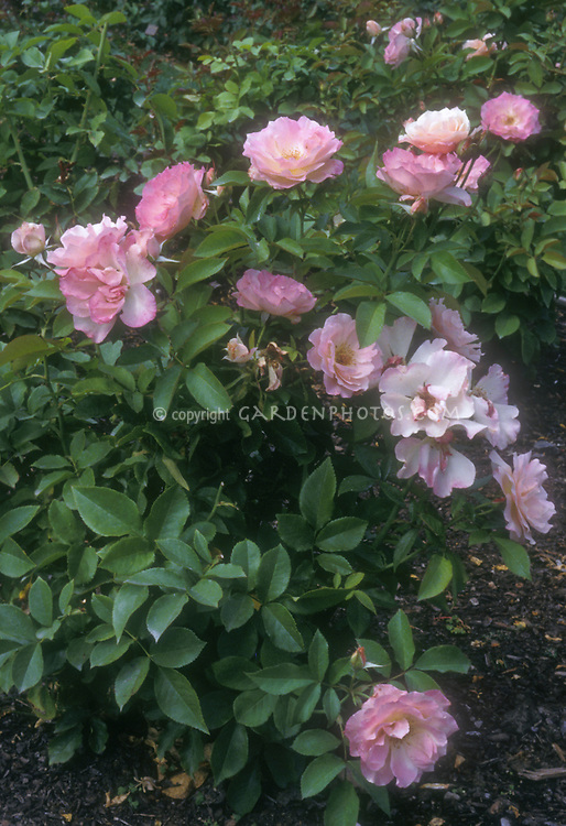 Rosa 'First Kiss' floribunda roses in white and pink blushed flowers