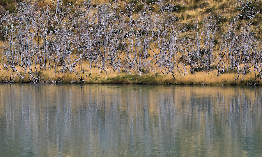 Lenga tree reflection, Torres del Paine, Patagonia, Chile
