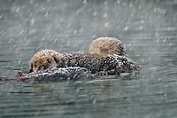 Alaskan or Northern Sea Otter (Enhydra lutris) mom and pup in snowstorm.  Alaska.