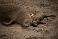 Female and young Elephant Seal at a colony in Big Sur.