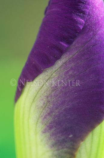 A close up of an Iris flower