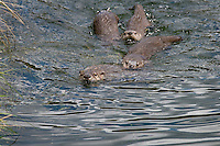 Northern River Otter (Lontra canadensis) mom swims in lake with here three pups.  Western U.S., summer.