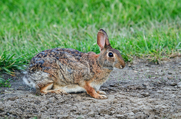 Eastern Cottontail rabbit (Sylvilagus floridanus) in spring coat. Great Lakes region, North America.