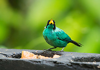 Male Green Honeycreeper, Chlorophanes spiza, at a feeder in Sarapiquí, Costa Rica