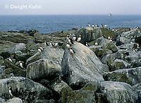 MC23-006z  Atlantic Puffin - on rocks at Machias Seal Island, Bay of Fundy - Fratercula arctica